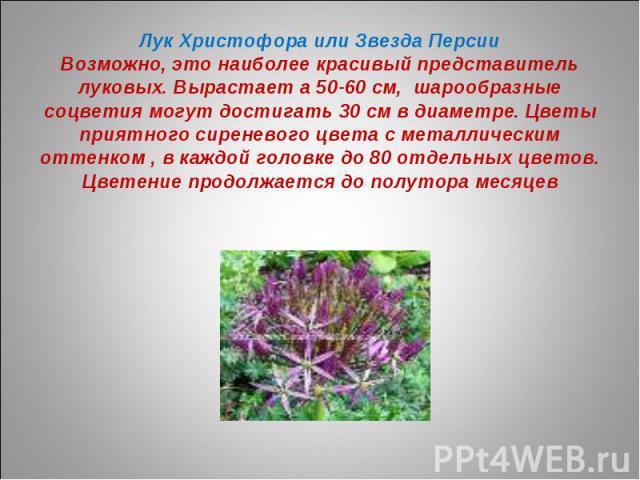 Лук Христофора или Звезда ПерсииВозможно, это наиболее красивый представитель луковых. Вырастает а 50-60 см, шарообразные соцветия могут достигать 30 см в диаметре. Цветы приятного сиреневого цвета с металлическим оттенком , в каждой головке до 80 о…