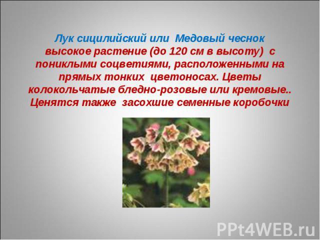 Лук сицилийский или Медовый чесноквысокое растение (до 120 см в высоту) с пониклыми соцветиями, расположенными на прямых тонких цветоносах. Цветы колокольчатые бледно-розовые или кремовые.. Ценятся также засохшие семенные коробочки