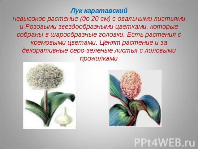 Лук каратавскийневысокое растение (до 20 см) с овальными листьями и Розовыми звездообразными цветками, которые собраны в шарообразные головки. Есть растения с кремовыми цветами. Ценят растение и за декоративные серо-зеленые листья с лиловыми прожилками