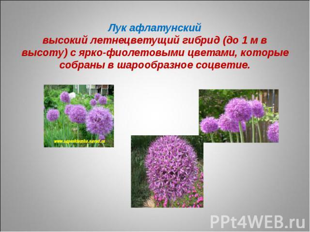 Лук афлатунскийвысокий летнецветущий гибрид (до 1 м в высоту) с ярко-фиолетовыми цветами, которые собраны в шарообразное соцветие.