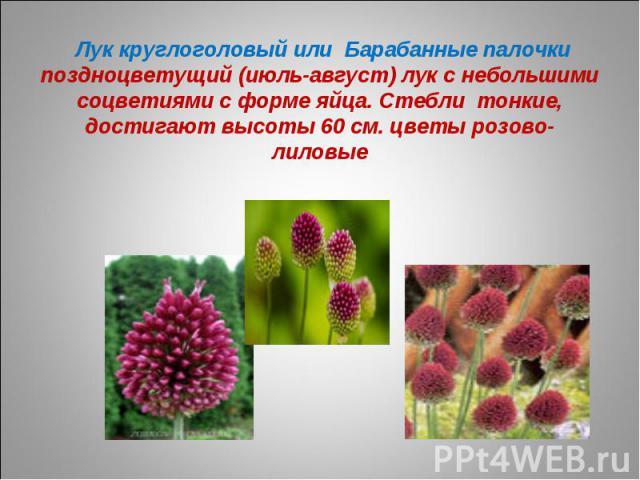 Лук круглоголовый или Барабанные палочкипоздноцветущий (июль-август) лук с небольшими соцветиями с форме яйца. Стебли тонкие, достигают высоты 60 см. цветы розово-лиловые