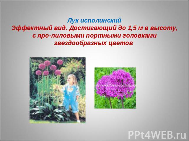 Лук исполинскийЭффектный вид. Достигающий до 1,5 м в высоту, с яро-лиловыми портными головками звездообразных цветов