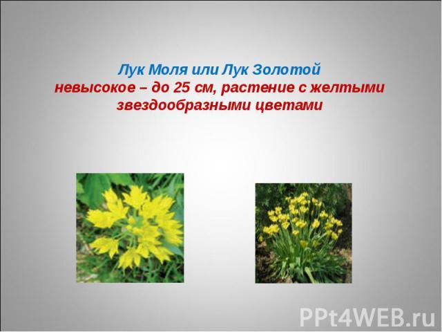 Лук Моля или Лук Золотойневысокое – до 25 см, растение с желтыми звездообразными цветами