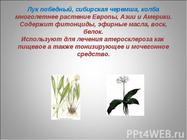 Лук победный, сибирская черемша, колбамноголетнее растение Европы, Азии и Америки. Содержит фитонциды, эфирные масла, воск, белок.Используют для лечения атеросклероза как пищевое а также тонизирующее и мочегонное средство.