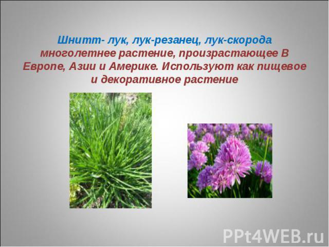 Шнитт- лук, лук-резанец, лук-скородамноголетнее растение, произрастающее В Европе, Азии и Америке. Используют как пищевое и декоративное растение
