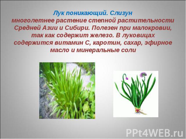 Лук поникающий. Слизунмноголетнее растение степной растительности Средней Азии и Сибири. Полезен при малокровии, так как содержит железо. В луковицах содержится витамин С, каротин, сахар, эфирное масло и минеральные соли
