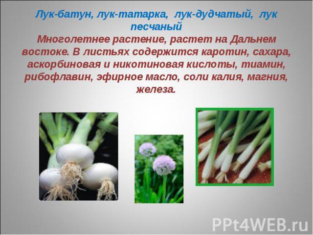 Лук-батун, лук-татарка, лук-дудчатый, лук песчаныйМноголетнее растение, растет на Дальнем востоке. В листьях содержится каротин, сахара, аскорбиновая и никотиновая кислоты, тиамин, рибофлавин, эфирное масло, соли калия, магния, железа.