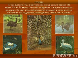 ПТИЦЫКоллекция птиц Калининградского зоопарка насчитывает 100 видов. Летом больш