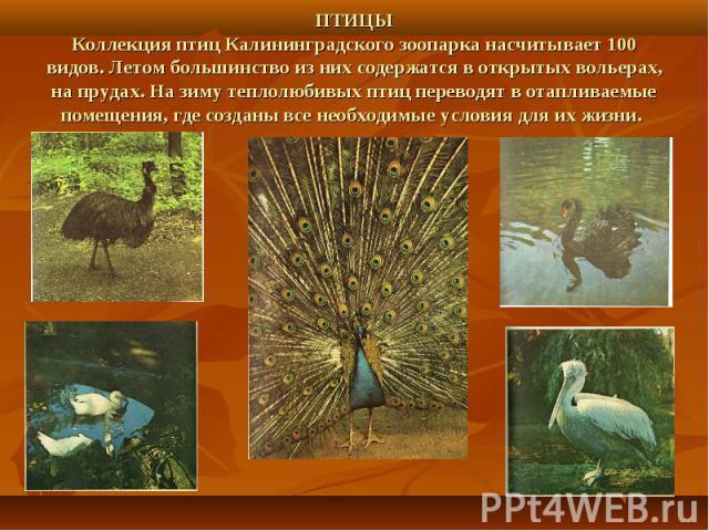ПТИЦЫКоллекция птиц Калининградского зоопарка насчитывает 100 видов. Летом большинство из них содержатся в открытых вольерах, на прудах. На зиму теплолюбивых птиц переводят в отапливаемые помещения, где созданы все необходимые условия для их жизни.