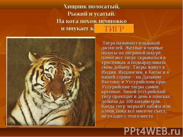 Хищник полосатый,Рыжий и усатый.На кота похож немножкои мяукает как кошка. Тигра называют владыкой джунглей. Желтые и черные полосы на тигриной шкуре помогают тигру скрываться в тростниках и подкарауливать свою добычу. Тигры живут в Индии, Индонезии…