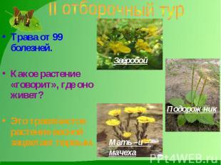 II отборочный тур Трава от 99 болезней. Какое растение «говорит», где оно живет?