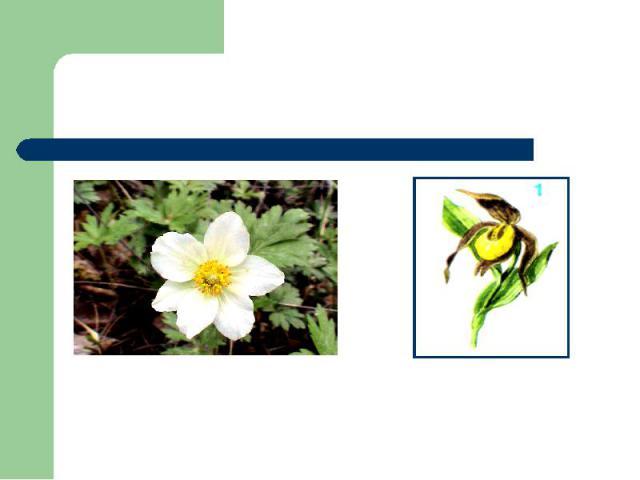 Цветок весны, идущий к нам по снегу, - Простой цветок,Но сколько он несётДобра и радости, и счастья человеку.Ветреница алтайскаяВенерин башмачок