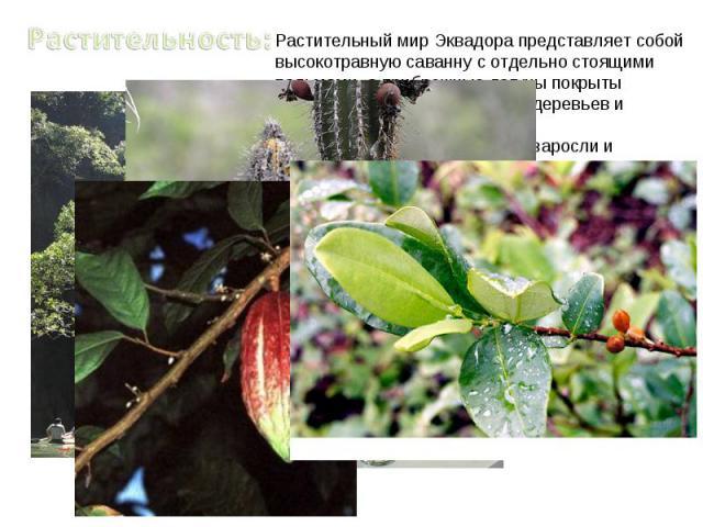 Растительность:Растительный мир Эквадора представляет собой высокотравную саванну с отдельно стоящими пальмами, а прибрежные лагуны покрыты густыми зарослями мангровых деревьев и кустарников. При движении к югу колючие заросли и отделенные категории…