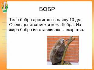 БОБР Тело бобра достигает в длину 10 дм. Очень ценится мех и кожа бобра. Из жира
