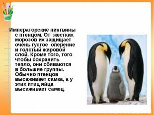Императорские пингвины с птенцом. От жестких морозов их защищает очень густое оп