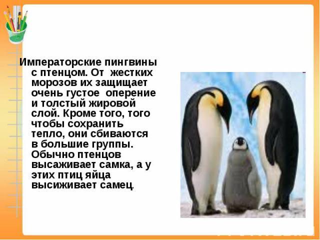 Императорские пингвины с птенцом. От жестких морозов их защищает очень густое оперение и толстый жировой слой. Кроме того, того чтобы сохранить тепло, они сбиваются в большие группы. Обычно птенцов высаживает самка, а у этих птиц яйца высиживает самец.