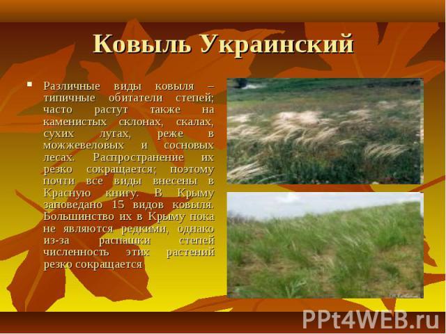 Ковыль Украинский Различные виды ковыля – типичные обитатели степей; часто растут также на каменистых склонах, скалах, сухих лугах, реже в можжевеловых и сосновых лесах. Распространение их резко сокращается; поэтому почти все виды внесены в Красную …