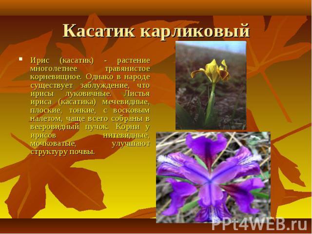 Касатик карликовый Ирис (касатик) - растение многолетнее травянистое корневищное. Однако в народе существует заблуждение, что ирисы луковичные. Листья ириса (касатика) мечевидные, плоские, тонкие, с восковым налетом, чаще всего собраны в вееровидный…