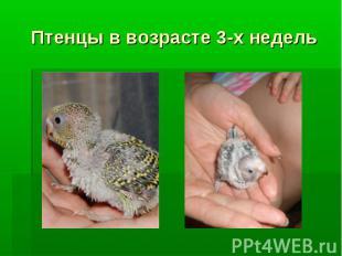 Птенцы в возрасте 3-х недель