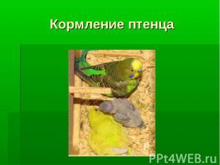Кормление птенца
