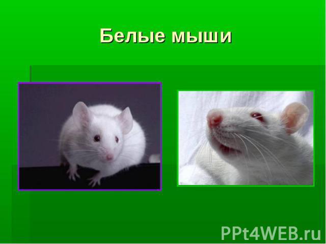 Белые мыши