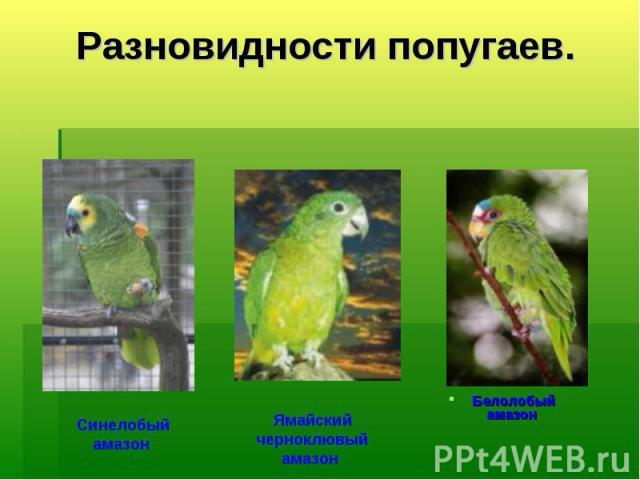 Разновидности попугаев. Синелобый амазон Ямайский черноклювый амазон Белолобый амазон