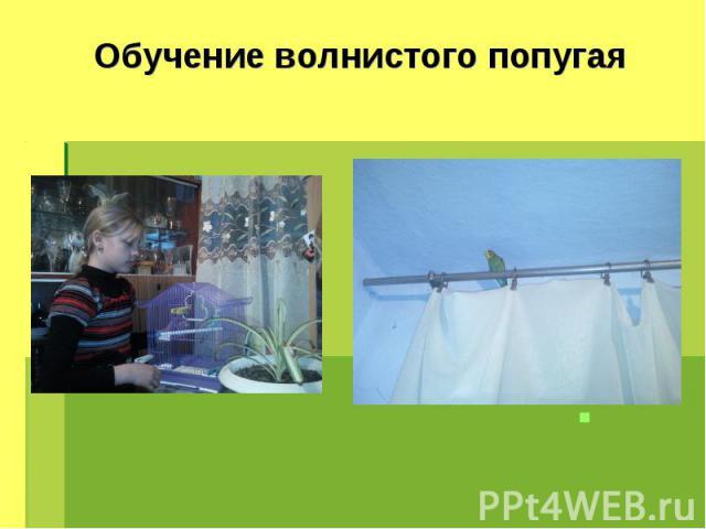 Обучение волнистого попугая