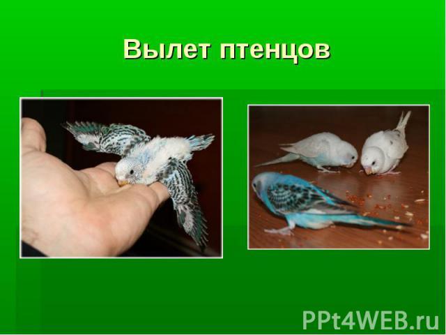 Вылет птенцов