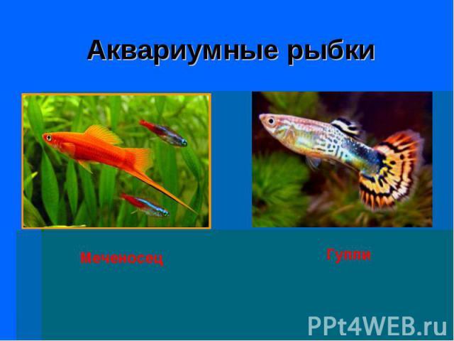Аквариумные рыбки МеченосецГуппи