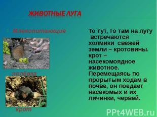 Животные луга То тут, то там на лугу встречаются холмики свежей земли – кротовин