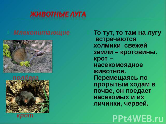 Животные луга То тут, то там на лугу встречаются холмики свежей земли – кротовины. крот – насекомоядное животное. Перемещаясь по прорытым ходам в почве, он поедает насекомых и их личинки, червей.