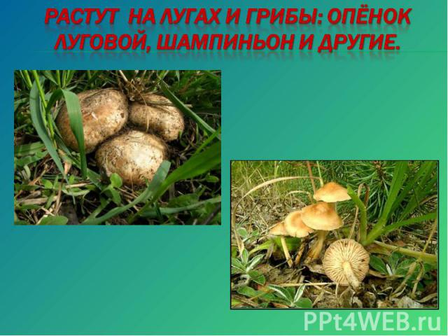 Растут на лугах и грибы: опёнок луговой, шампиньон и другие.