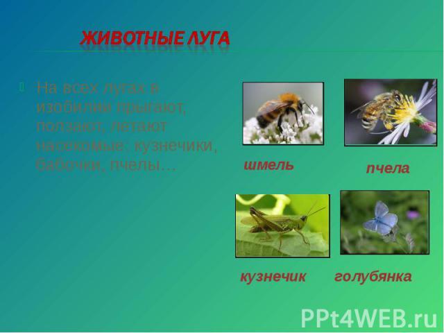 Животные луга На всех лугах в изобилии прыгают, ползают, летают насекомые: кузнечики, бабочки, пчелы…
