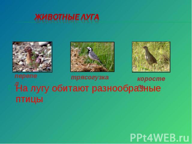Животные луга На лугу обитают разнообразные птицы