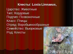 Клесты Loxia Linnaeus, Царство: ЖивотныеТип: ХордовыеПодтип: ПозвоночныеКласс: П