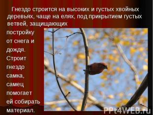 Гнездо строится на высоких и густых хвойных деревьях, чаще на елях, под прикрыти