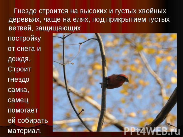 Гнездо строится на высоких и густых хвойных деревьях, чаще на елях, под прикрытием густых ветвей, защищающих постройку от снега и дождя. Строит гнездо самка, самец помогает ей собирать материал.