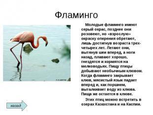 Фламинго Молодые фламинго имеют серый окрас, позднее они розовеют, но «взрослую»
