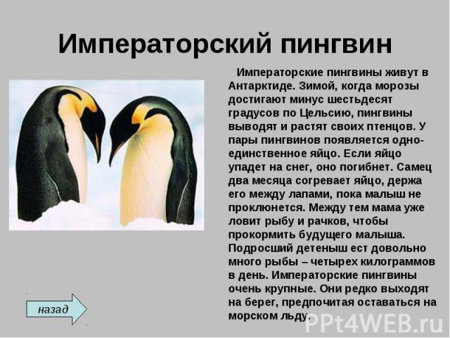 Императорский пингвин Императорские пингвины живут в Антарктиде. Зимой, когда морозы достигают минус шестьдесят градусов по Цельсию, пингвины выводят и растят своих птенцов. У пары пингвинов появляется одно-единственное яйцо. Если яйцо упадет на сне…