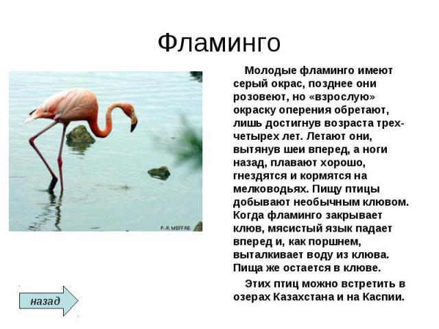 Фламинго Молодые фламинго имеют серый окрас, позднее они розовеют, но «взрослую» окраску оперения обретают, лишь достигнув возраста трех-четырех лет. Летают они, вытянув шеи вперед, а ноги назад, плавают хорошо, гнездятся и кормятся на мелководьях. …