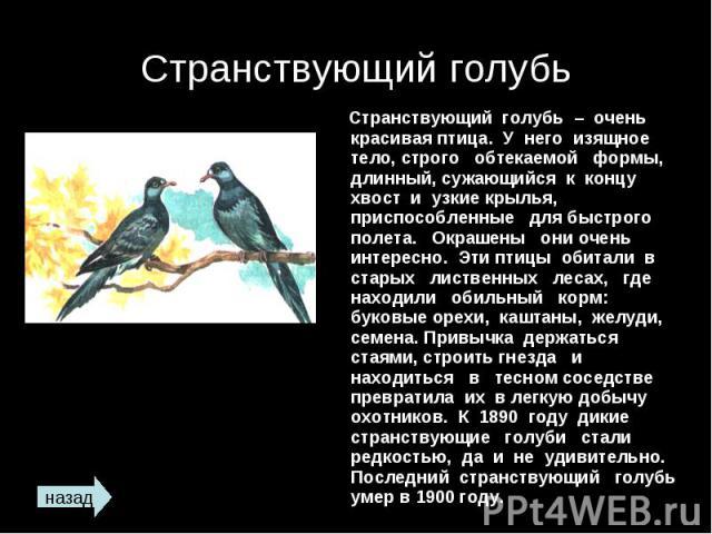 Странствующий голубь Странствующий голубь – очень красивая птица. У него изящное тело, строго обтекаемой формы, длинный, сужающийся к концу хвост и узкие крылья, приспособленные для быстрого полета. Окрашены они очень интересно. Эти птицы обитали в …
