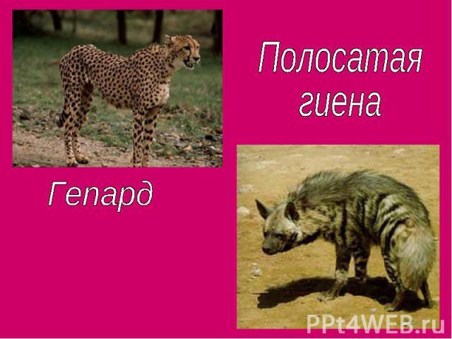 Полосатая гиенаГепард