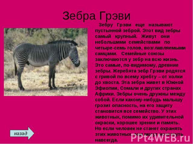 Зебра Грэви Зебру Грэви еще называют пустынной зеброй. Этот вид зебры самый крупный. Живут они небольшими семействами по четыре-семь голов, возглавляемыми самцами. Семейные союзы заключаются у зебр на всю жизнь. Это самые, по-видимому, древние зебры…