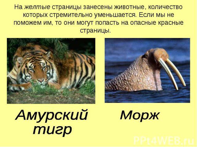 На желтые страницы занесены животные, количество которых стремительно уменьшается. Если мы не поможем им, то они могут попасть на опасные красные страницы. Амурский тигрМорж