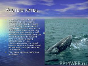 Усатые киты. У них отсутствуют зубы, а полость их рта оснащена особыми упругими