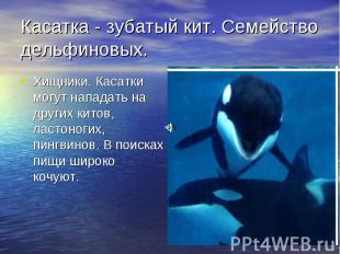 Касатка - зубатый кит. Семейство дельфиновых. Хищники. Касатки могут нападать на