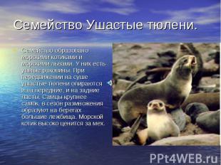 Семейство Ушастые тюлени. Семейство образовано морскими котиками и морскими льва