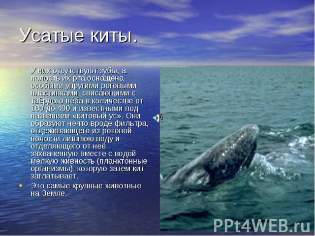Усатые киты. У них отсутствуют зубы, а полость их рта оснащена особыми упругими роговыми пластинками, свисающими с твёрдого нёба в количестве от 180 до 400 и известными под названием «китовый ус». Они образуют нечто вроде фильтра, отцеживающего из р…