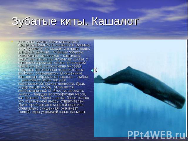 Зубатые киты. Кашалот Достигает длины 20м и массы 100т. Кашалоты водятся в основном в тропиках и субтропиках, но заходят и в наши воды. В поисках добычи – главным образом головоногих моллюсков – кашалоты могут опуститься на глубину до 2200м. У кашал…