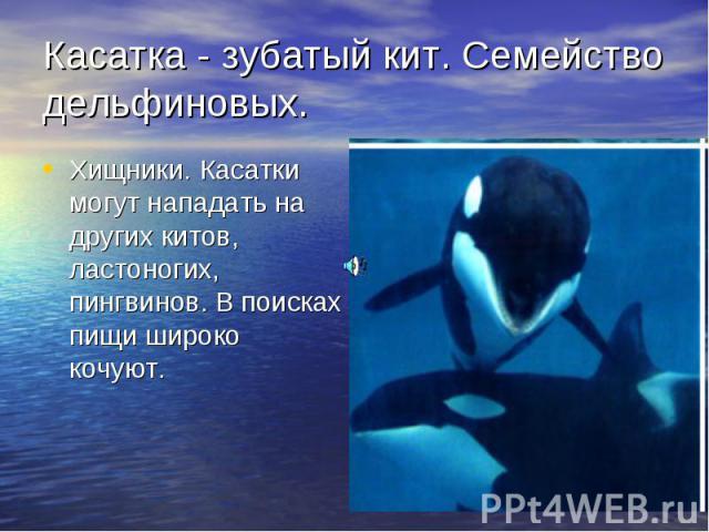 Касатка - зубатый кит. Семейство дельфиновых. Хищники. Касатки могут нападать на других китов, ластоногих, пингвинов. В поисках пищи широко кочуют.
